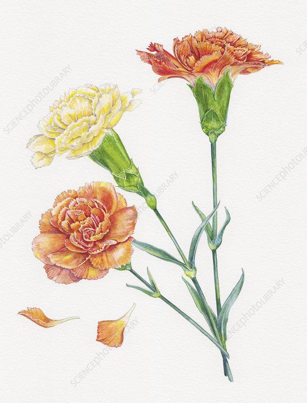 Close up of three carnation stems, illustration