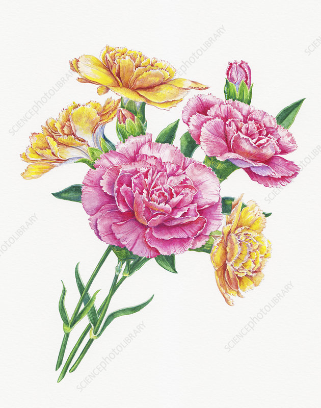 Bunch of carnations, illustration