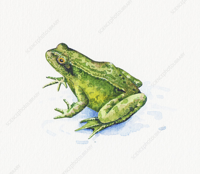 Common frog, illustration
