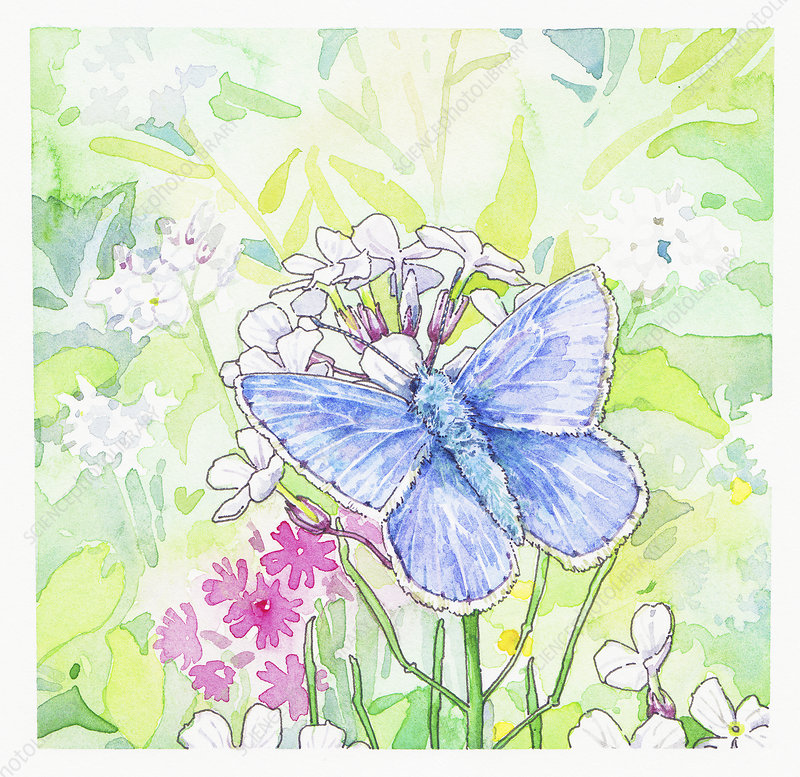 Common Blue Butterfly on flowers, illustration