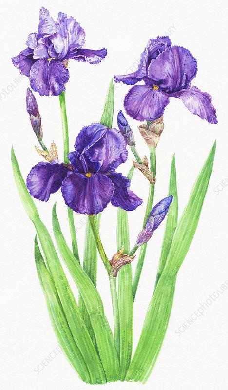 Purple Bearded Iris, illustration