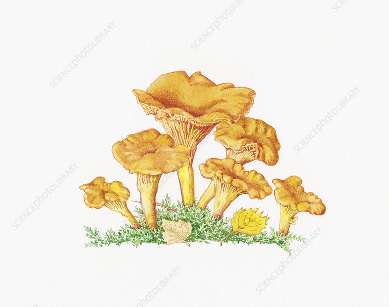 Chanterelle (Cantharellus Cibarius) mushrooms, illustration