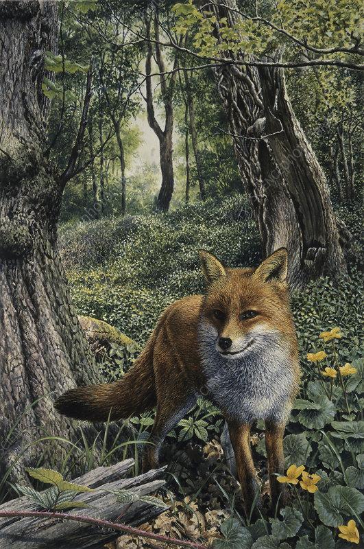 Alert red fox in woodland, illustration