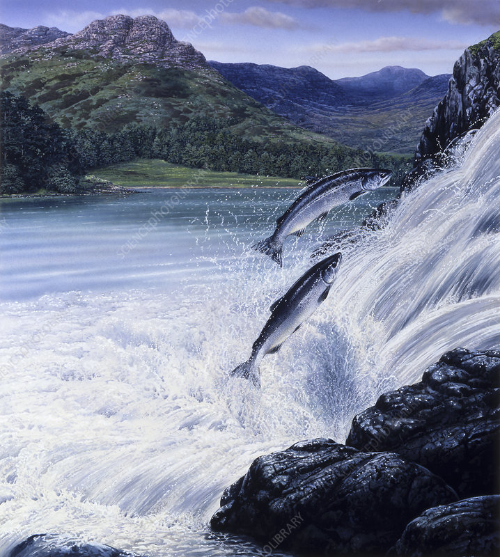 Salmon leaping up waterfall, illustration