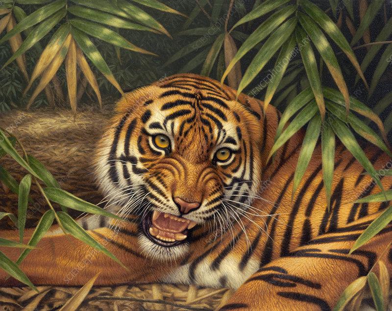 Snarling Bengal tiger, illustration