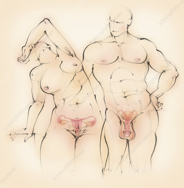 Male and female reproductive systems, illustration