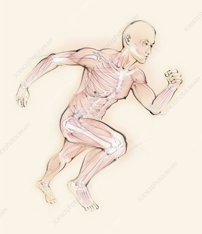 Running man showing skeleton and muscles, illustration
