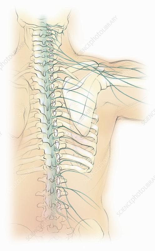 Male spine with nervous system, illustration