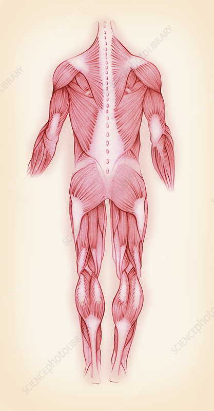 Muscles in the male human body, illustration