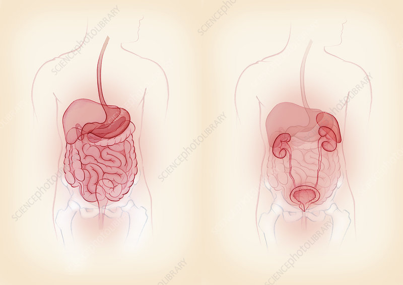Male digestive and urinary systems, illustration