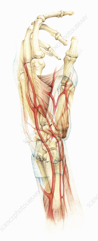 Bones, muscles and blood supply in hand, illustration