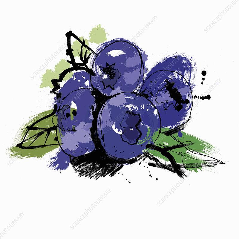 Blueberries, illustration