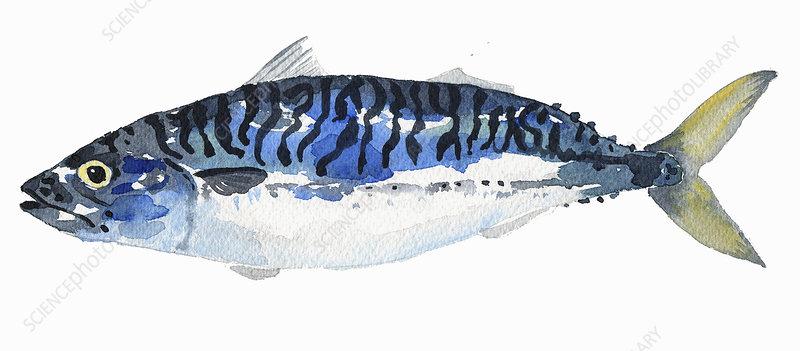 Mackerel, illustration
