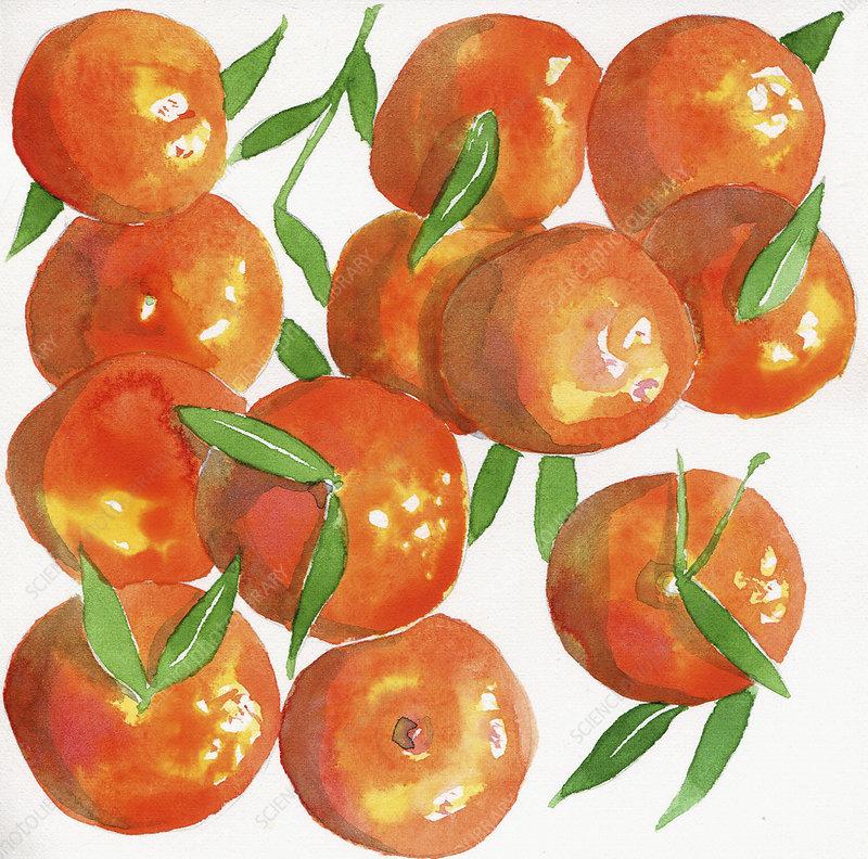 Satsuma oranges, illustration