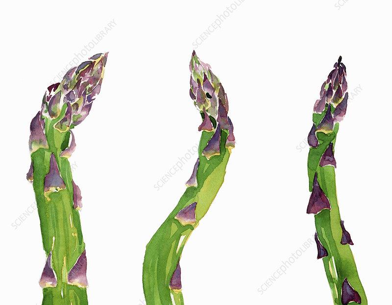 Fresh asparagus spears, illustration