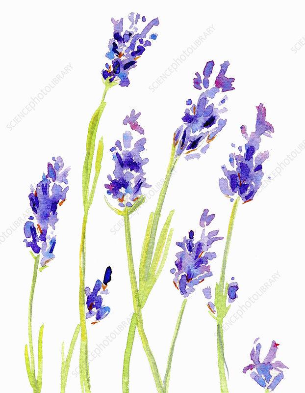 Lavender, illustration