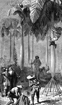 Harvesting palm trees in Bolivia, 19th century