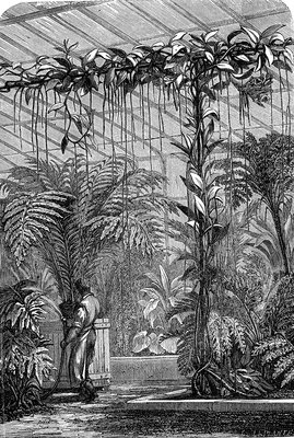Growing vanilla orchid in a greenhouse, 19th century