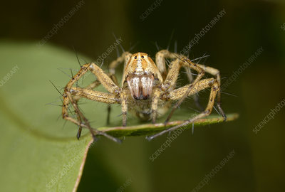 Lynx spider, female front view