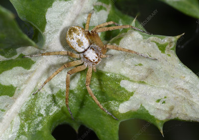 Turf running spider