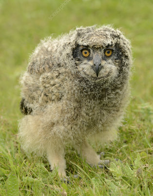 African spotted eagle owl fledgling
