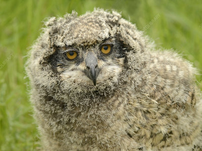 African spotted eagle owl fledgling, full face