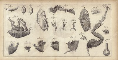 Flea anatomy observed by van Leeuwenhoek, 1693