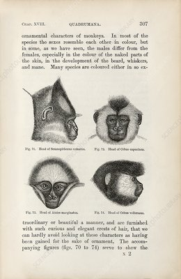 Darwin on sexual selection in primates, 1871