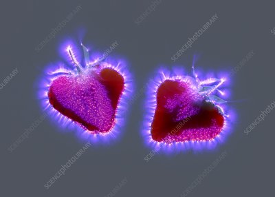 Strawberries, Kirlian photograph
