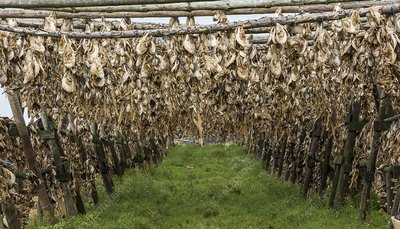 Cod heads hung to dry