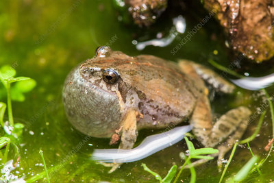 Eastern Common Froglet