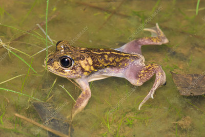 Common Spade-foot Frog