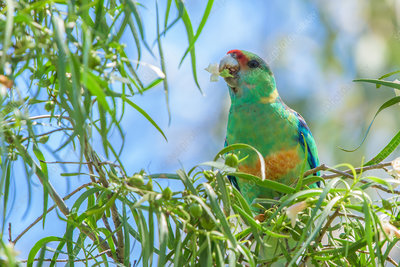 Mallee Ringneck Parrot