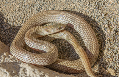 Great Plains Ground Snake