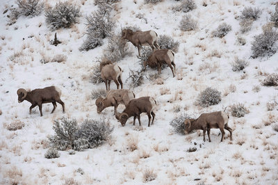 Bighorn Sheep in Winter