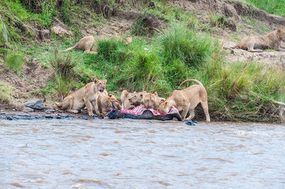 Lions Eating Wildebeest