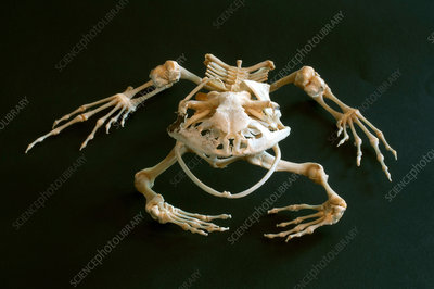 Skeleton of the smokey jungle frog