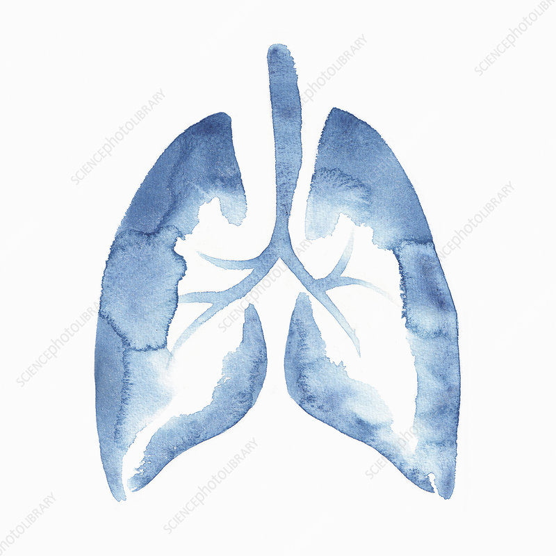 Blue watercolour lungs, illustration