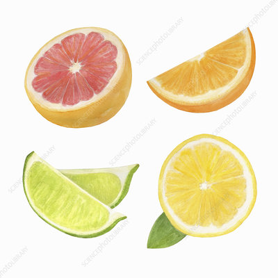 Citrus fruits, illustration