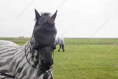 Horse wearing fly protection
