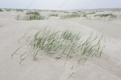 Dune grass growing in sand