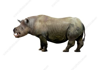Chilotherium rhinoceros, illustration