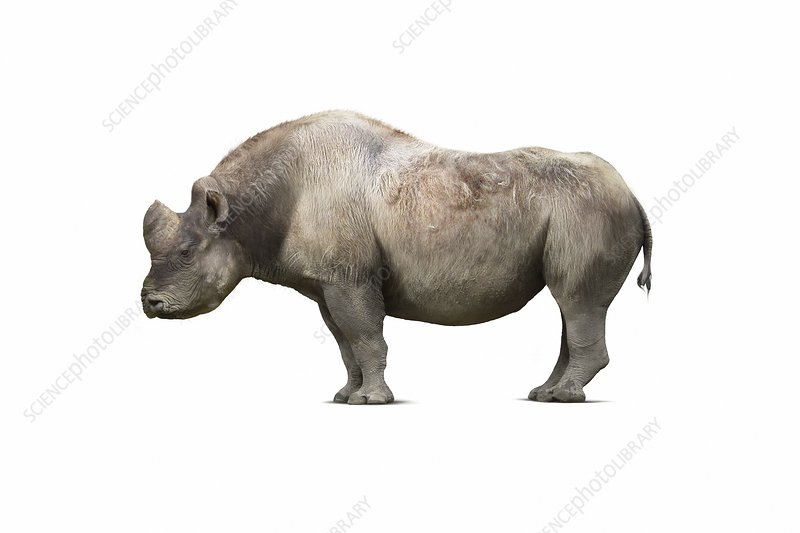 Elasmotherium caucasicum rhinoceros, illustration