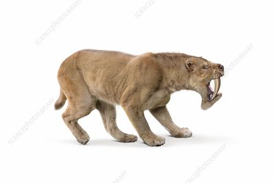 Barbourofelis fricki false sabre-tooth cat, illustration