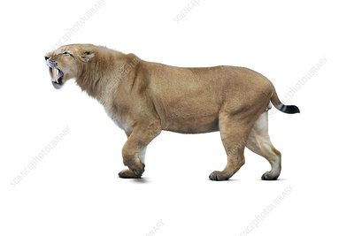 Sabre-toothed cat, illustration