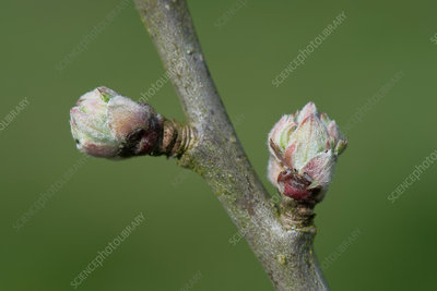 Apple buds swelling in spring