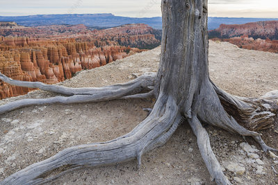 Pine in Bryce Canyon National Park, Utah