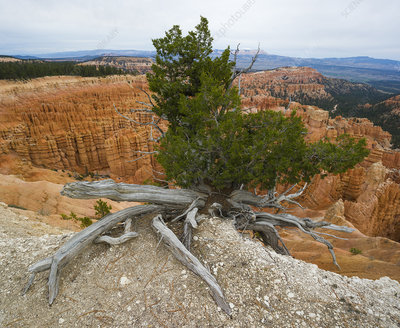 Juniper Tree on Canyon Edge, Bryce Canyon NP, Utah