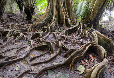 Surface roots