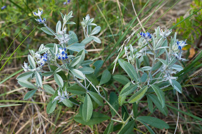 Silver-leaf Indian breadroot